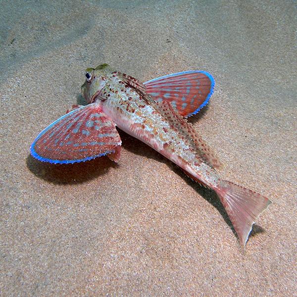 Chelidonichthys lastoviza